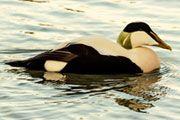 Draft Recovery Plan for the Alaska-breeding Population of Steller's Eider
